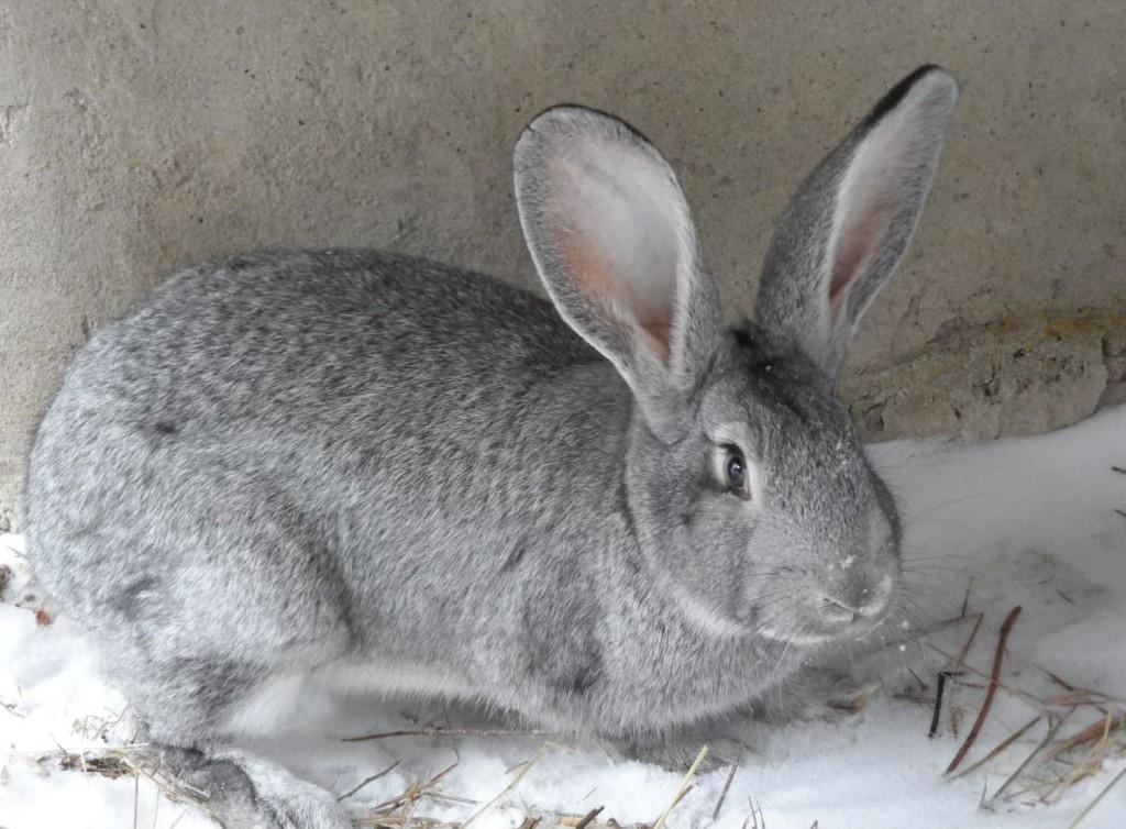 каким цветом кролик великан фото период один