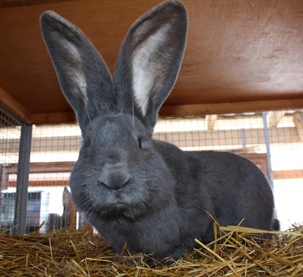 кролик ризен картинки суд направлено