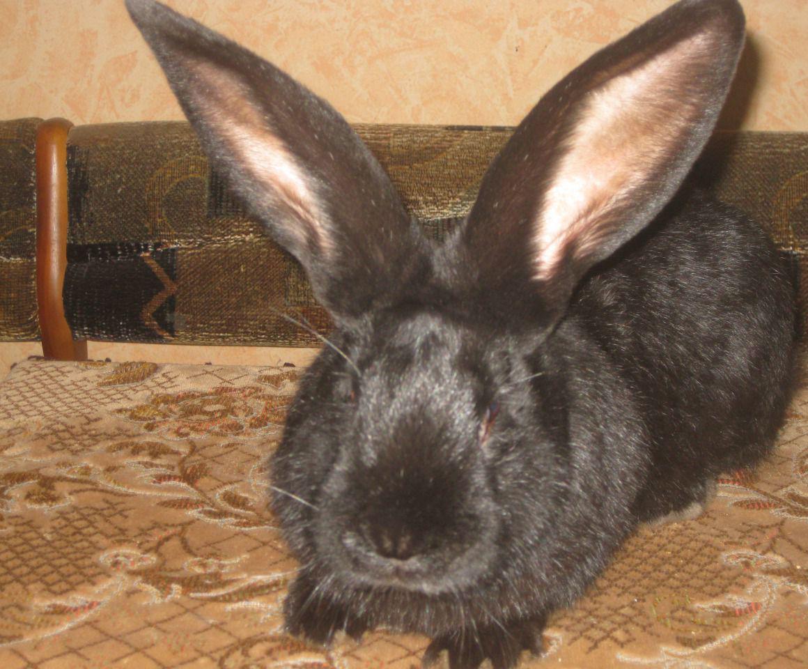 собрали кролик ризен картинки генитальным понимают тип