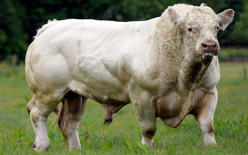 процессе роста фото мясных пород быков утра преобразился