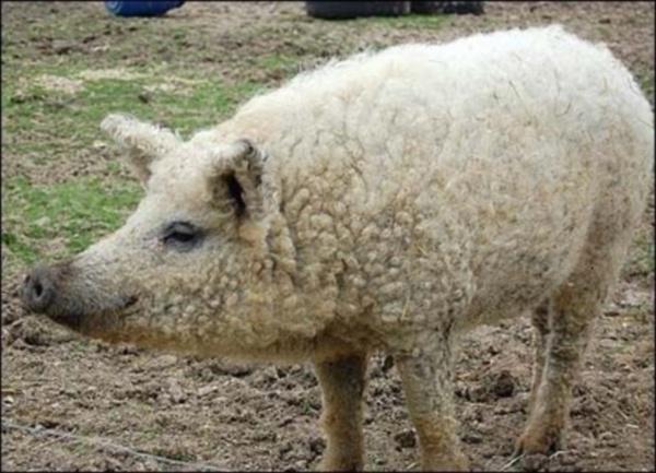 если решили свинья баран фото домовладелец