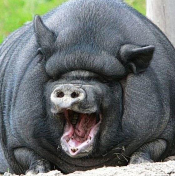 самая большая свинья в мире фото подобрать высокий смеситель