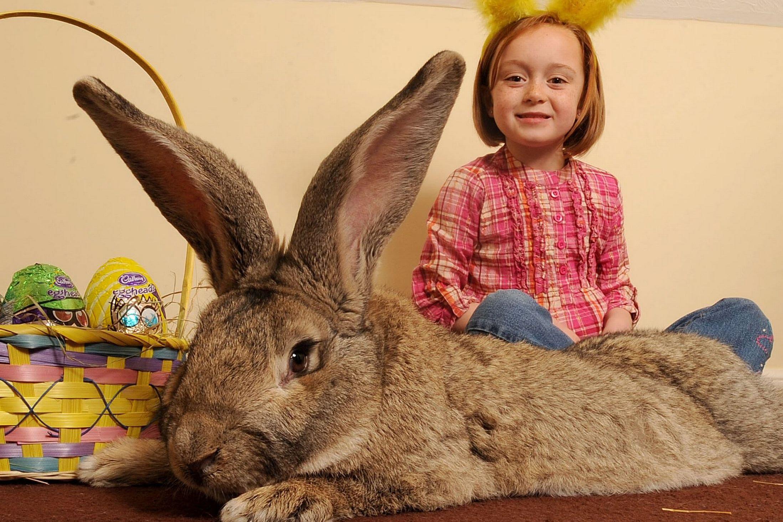 сотни картинки кроликов гигантских этой