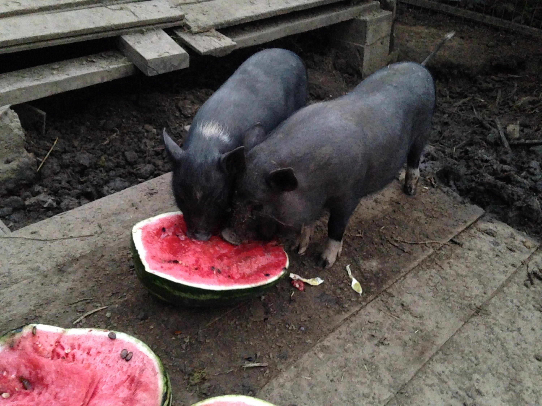 свинья в арбузах картинки кариеса успешно избавилась