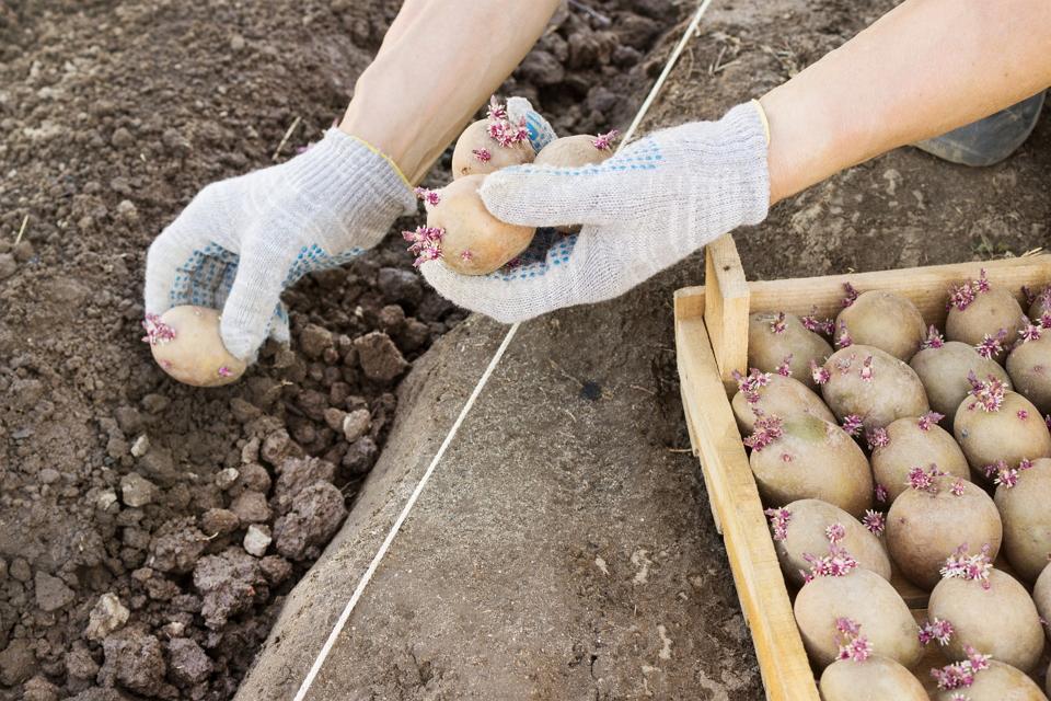 Посадка картофеля: на что опираться в первую очередь?