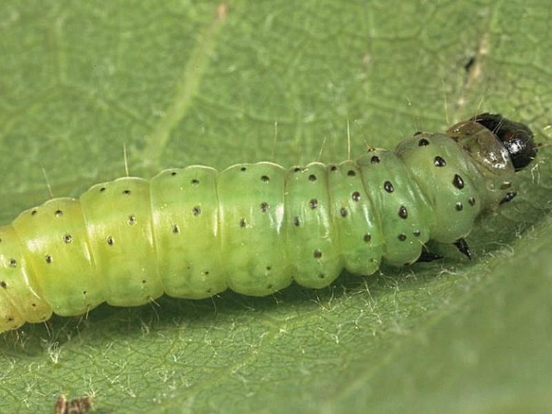 Эффективная борьба с гусеницами на садовом участке