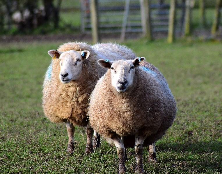 Бизнес на разведении овец