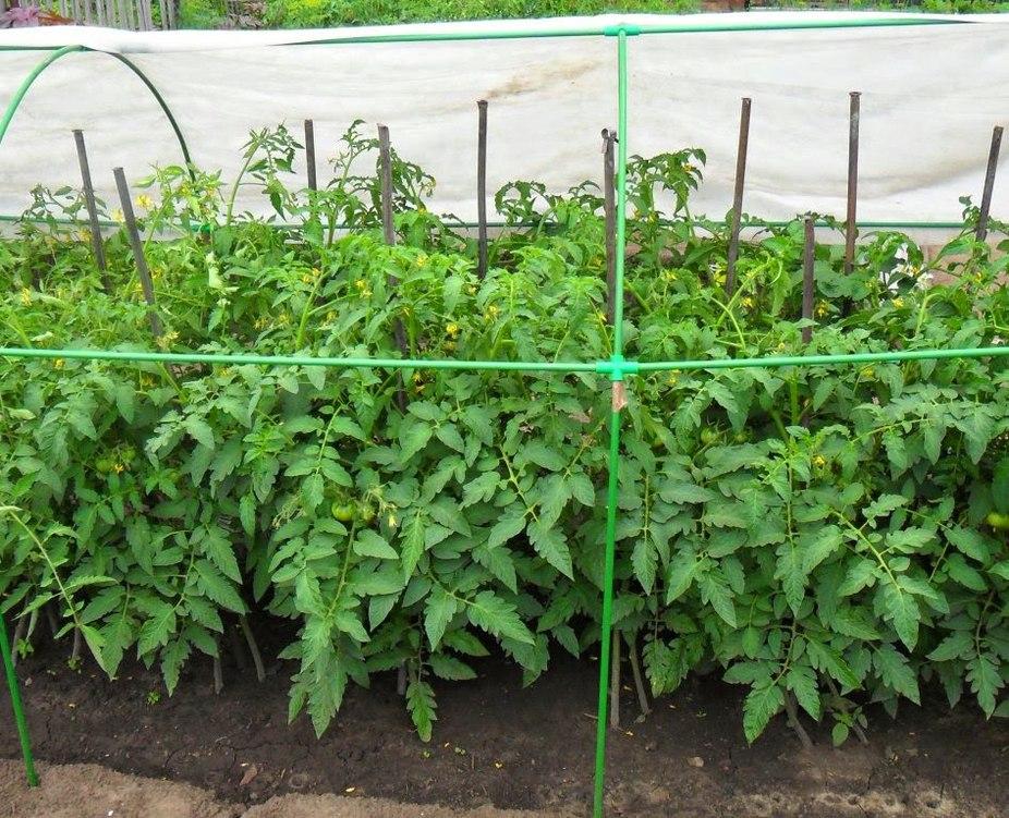 Выращивание томатов с помощью загущенных посадок