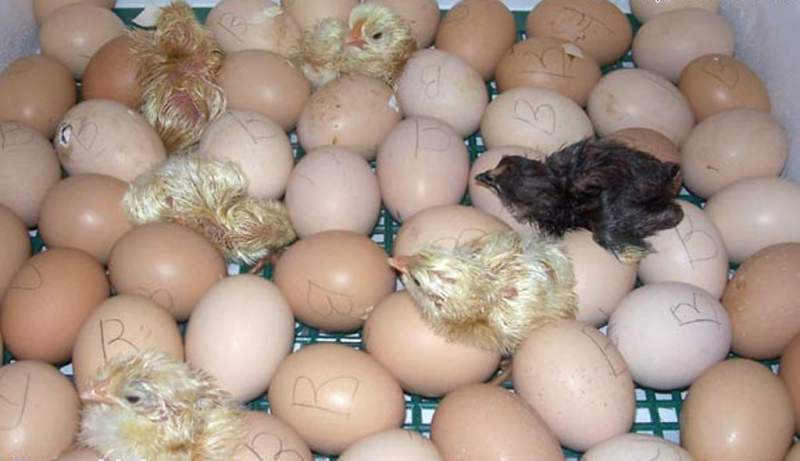 Как правильно хранить и подготовить куриное яйцо к инкубации