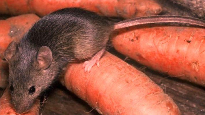 Мыши и крысы — опасные вредители. Методы борьбы.
