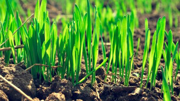 Выращивание озимой пшеницы