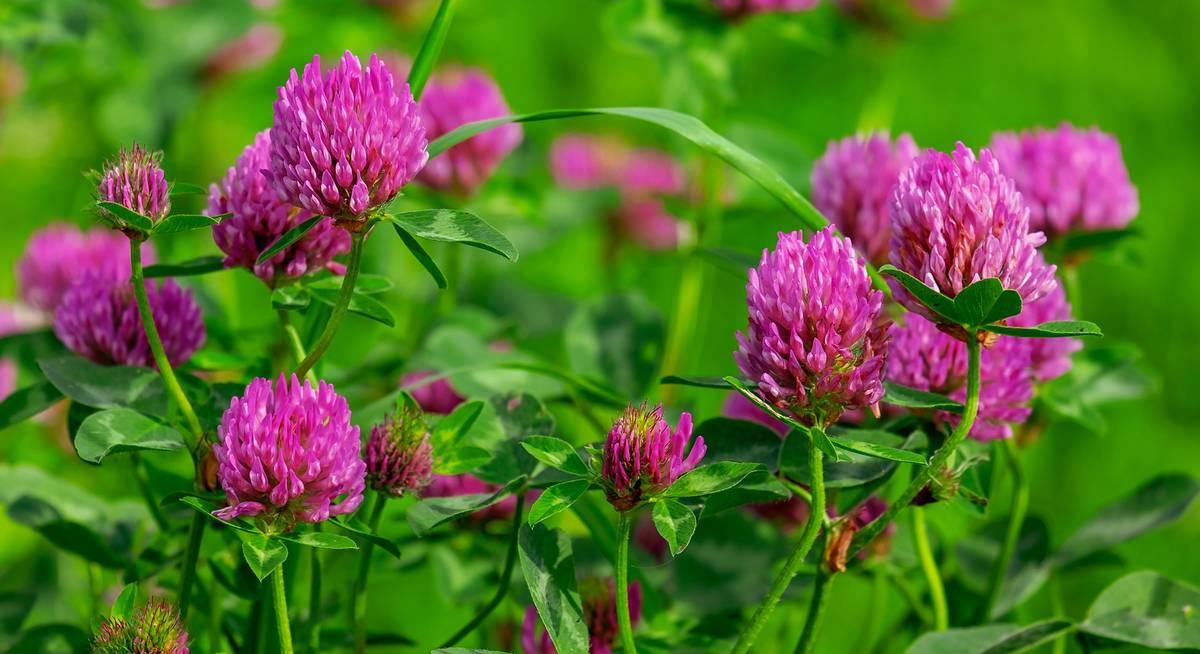 Популярные медоносные растения